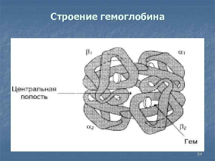 Строение гемоглобина 54