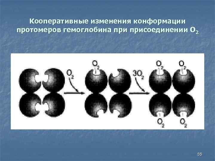Кооперативные изменения конформации протомеров гемоглобина присоединении О 2 55