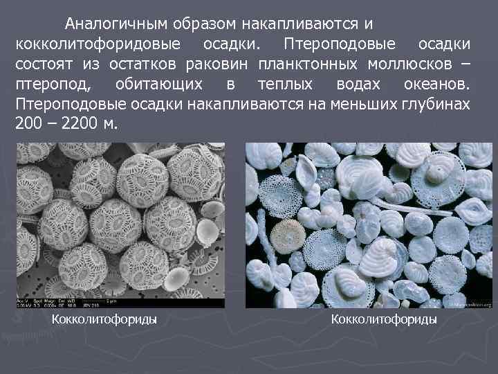 Аналогичным образом накапливаются и кокколитофоридовые осадки. Птероподовые осадки состоят из остатков раковин планктонных моллюсков