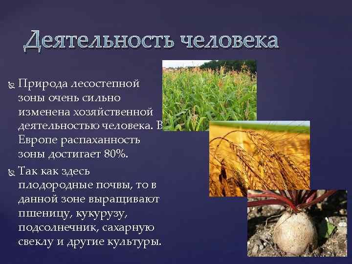 Деятельность человека Природа лесостепной зоны очень сильно изменена хозяйственной деятельностью человека. В Европе распаханность