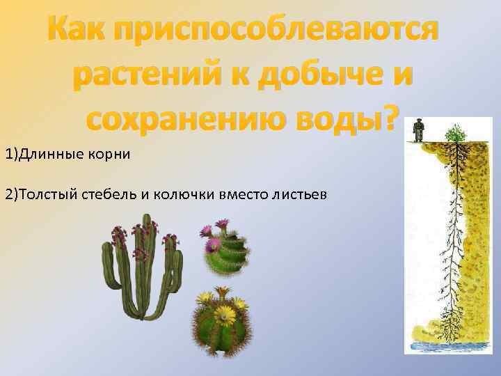Как приспособлеваются растений к добыче и сохранению воды? 1)Длинные корни 2)Толстый стебель и колючки