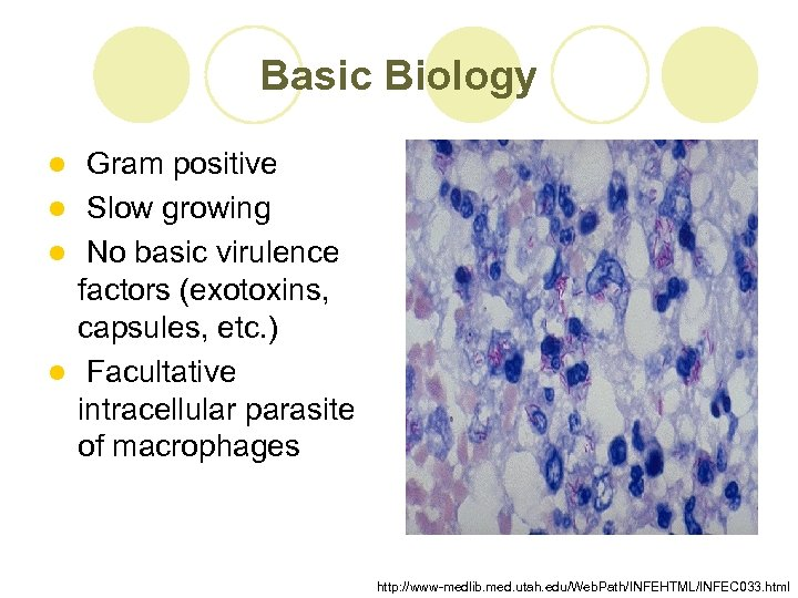 Basic Biology Gram positive l Slow growing l No basic virulence factors (exotoxins, capsules,