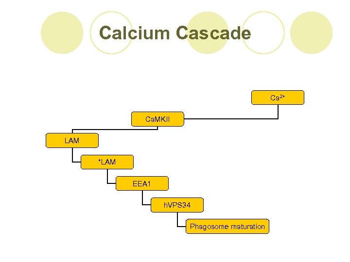 Calcium Cascade Ca 2+ Ca. MKII LAM *LAM EEA 1 h. VPS 34 Phagosome