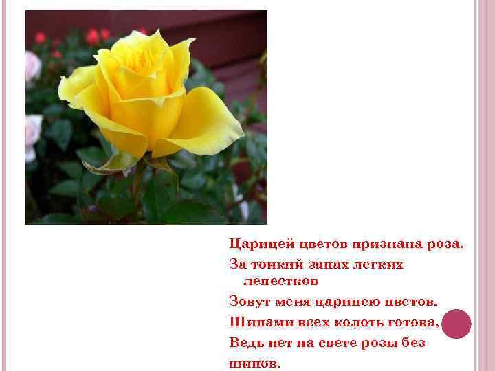 Царицей цветов признана роза. За тонкий запах легких лепестков Зовут меня царицею цветов. Шипами