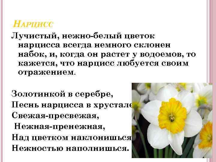 НАРЦИСС Лучистый, нежно-белый цветок нарцисса всегда немного склонен набок, и, когда он растет у