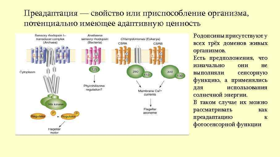 Преадаптация — свойство или приспособление организма, потенциально имеющее адаптивную ценность Родопсины присутствуют у всех