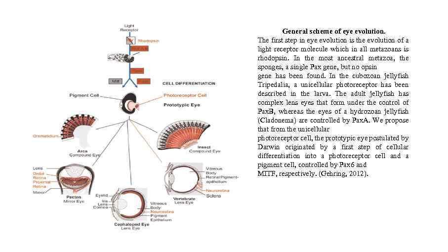 General scheme of eye evolution. The first step in eye evolution is the evolution