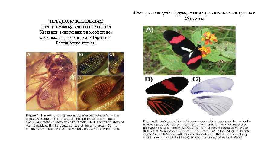 Monteiro, 2011 ПРЕДПОЛОЖИТЕЛЬНАЯ коопция молекулярно-генетических Каскадов, вовлеченных в морфогенез сложных глаз (ископаемое Diptera из