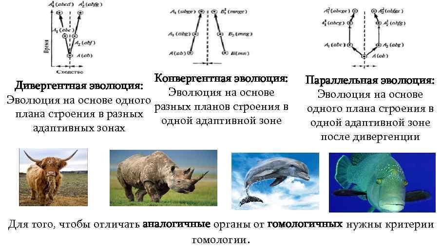 Конвергентная эволюция: Дивергентная эволюция: Эволюция на основе одного разных планов строения в плана строения