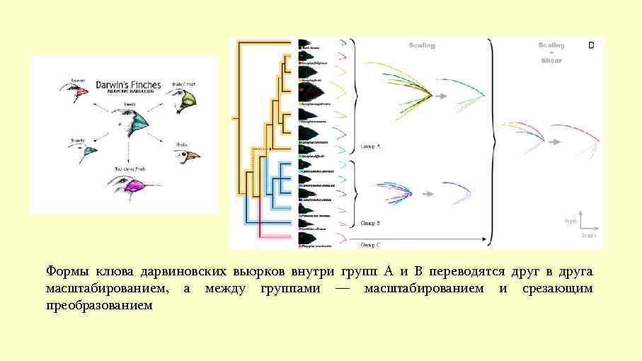 Формы клюва дарвиновских вьюрков внутри групп A и B переводятся друг в друга масштабированием,