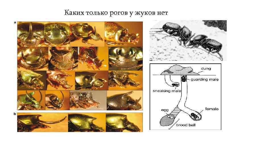 Каких только рогов у жуков нет