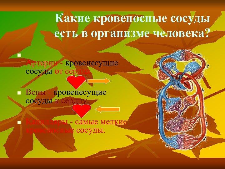 Какие кровеносные сосуды есть в организме человека? n n n Артерии - кровенесущие сосуды