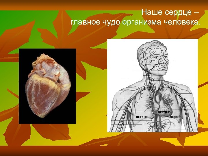 Наше сердце – главное чудо организма человека.
