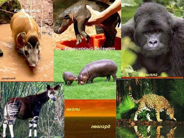 Кистеухие свиньи Карликовый бегемот горилла окапи леопард