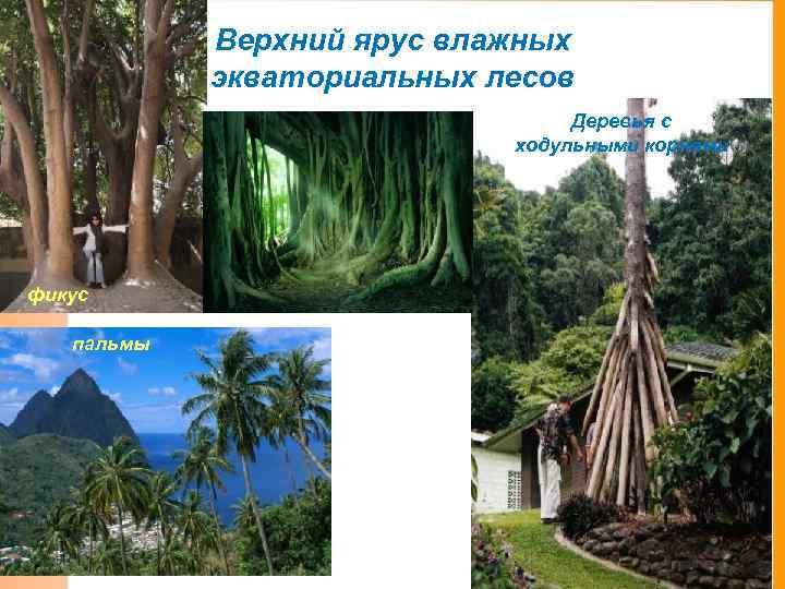 Верхний ярус влажных экваториальных лесов Деревья с ходульными корнями фикус пальмы
