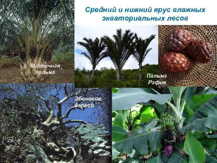 Средний и нижний ярус влажных экваториальных лесов Масличная пальма Пальма Рафия Эбеновое дерево