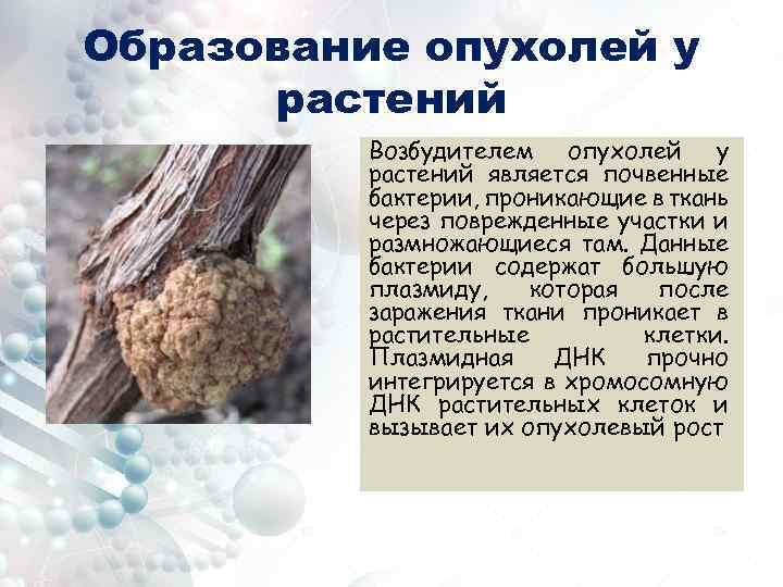 Образование опухолей у растений Возбудителем опухолей у растений является почвенные бактерии, проникающие в ткань