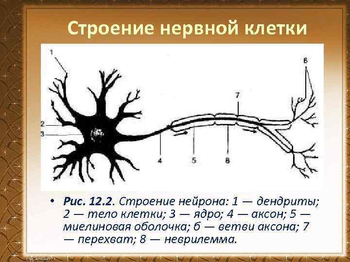 картинка нейрона с обозначениями вашему