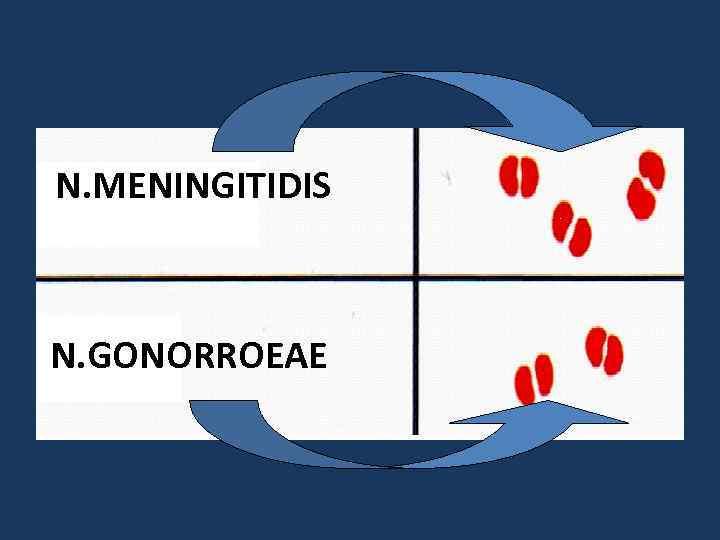 N. MENINGITIDIS N. GONORROEAE