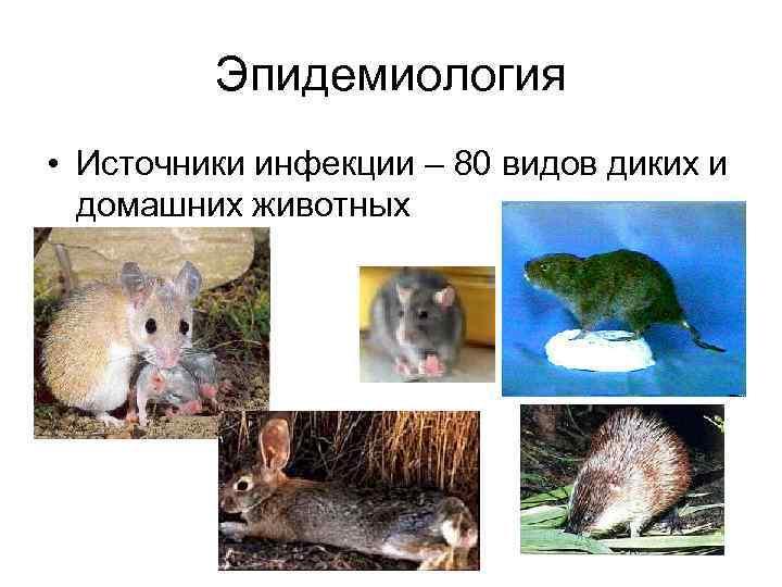 Эпидемиология • Источники инфекции – 80 видов диких и домашних животных