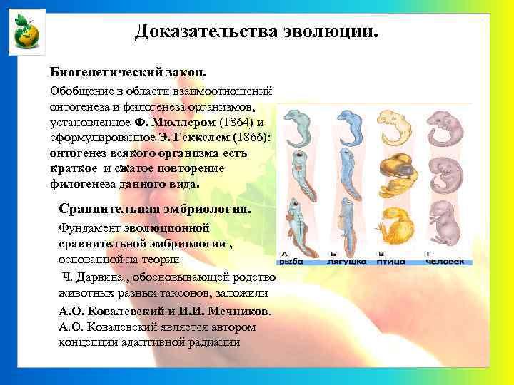 Доказательства эволюции. Биогенетический закон. Обобщение в области взаимоотношений онтогенеза и филогенеза организмов, установленное Ф.