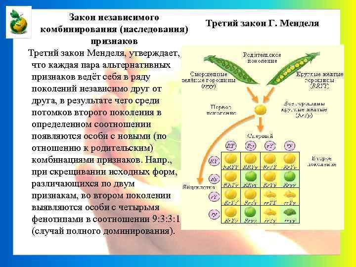 Закон независимого комбинирования (наследования) признаков Третий закон Менделя, утверждает, что каждая пара альтернативных признаков