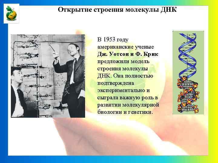 Открытие строения молекулы ДНК В 1953 году американские ученые Дж. Уотсон и Ф. Крик