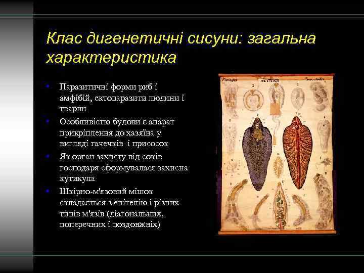 Клас дигенетичні сисуни: загальна характеристика • • Паразитичні форми риб і амфібій, ектопаразити людини