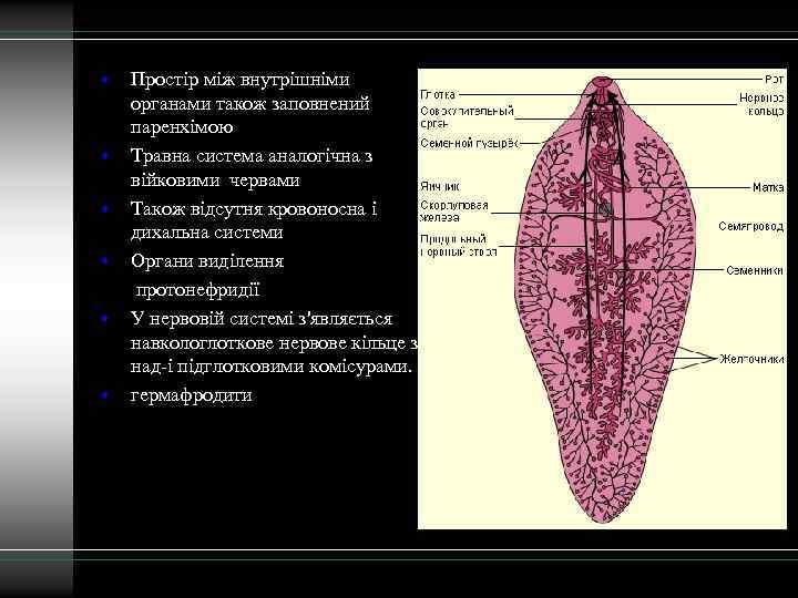• • • Простір між внутрішніми органами також заповнений паренхімою Травна система аналогічна