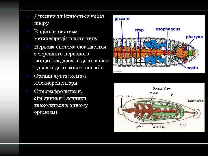 • Дихання здійснюється через шкіру • Видільна система метанефридіального типу • Нервова система