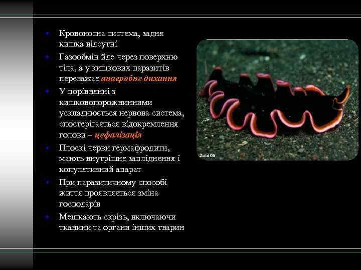 • • • Кровоносна система, задня кишка відсутні Газообмін йде через поверхню тіла,