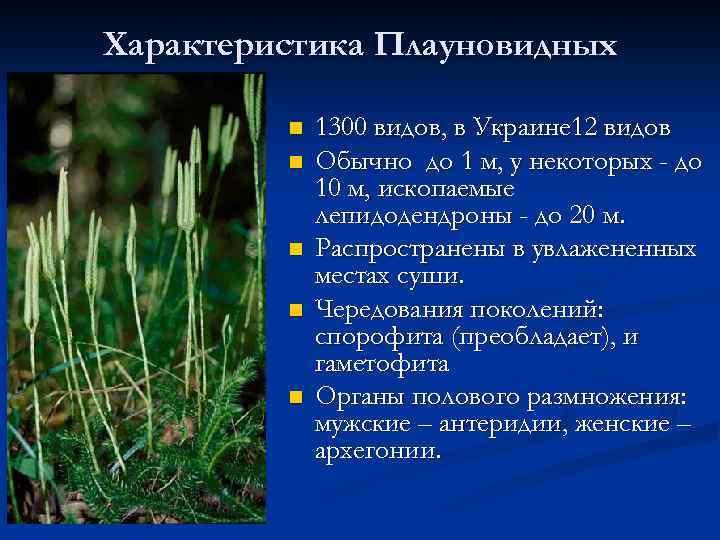 Характеристика Плауновидных n n n 1300 видов, в Украине 12 видов Обычно до 1
