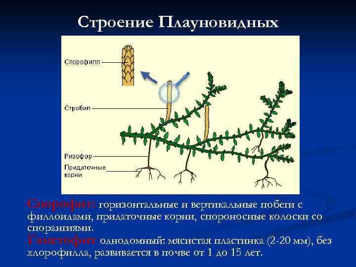 Строение Плауновидных Спорофит: горизонтальные и вертикальные побеги с филлоидами, придаточные корни, спороносные колоски со
