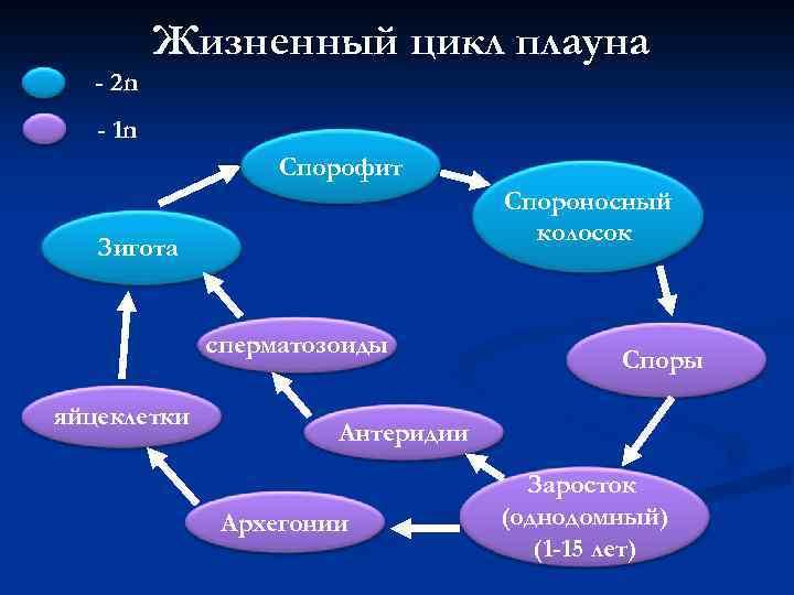 - 2 n Жизненный цикл плауна - 1 n Спорофит Спороносный колосок Зигота сперматозоиды
