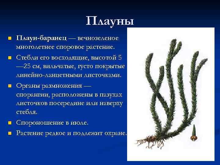 Плауны n n n Плаун-баранец — вечнозеленое многолетнее споровое растение. Стебли его восходящие, высотой