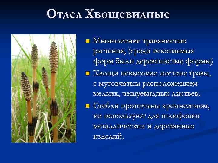 Отдел Хвощевидные n n n Многолетние травянистые растения, (среди ископаемых форм были деревянистые формы)
