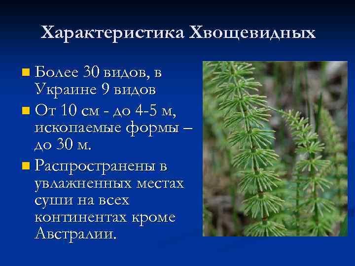 Характеристика Хвощевидных n Более 30 видов, в Украине 9 видов n От 10 см