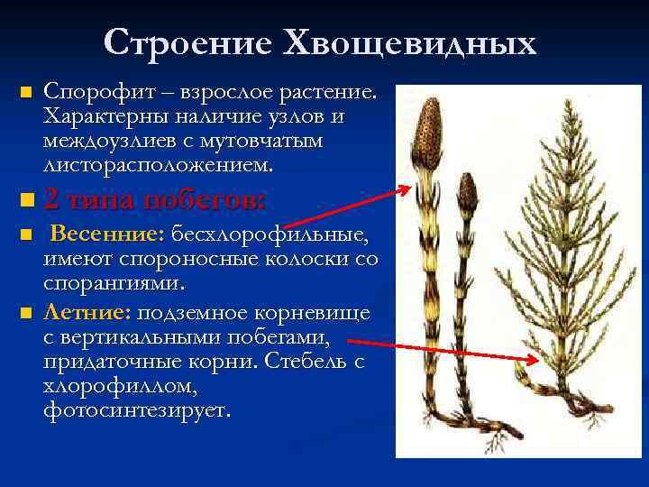 Строение Хвощевидных n Спорофит – взрослое растение. Характерны наличие узлов и междоузлиев с мутовчатым