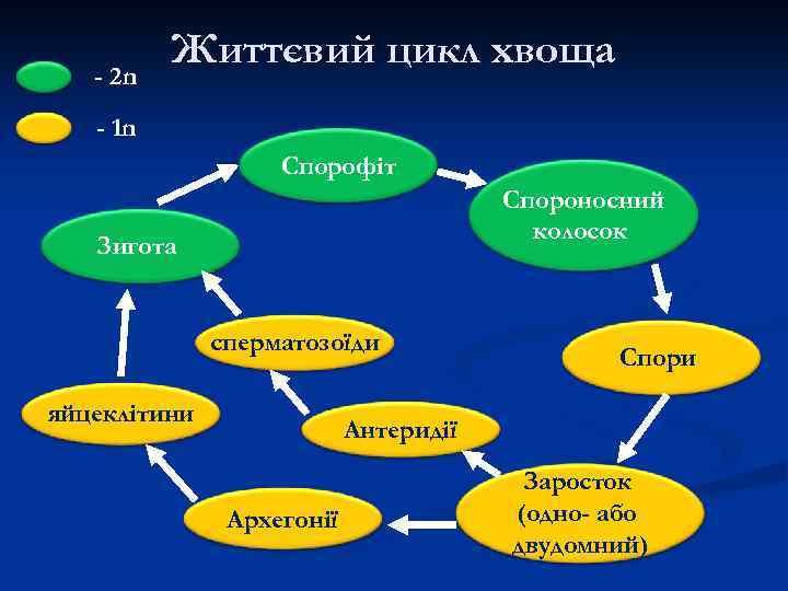 - 2 n Життєвий цикл хвоща - 1 n Спорофіт Спороносний колосок Зигота сперматозоїди