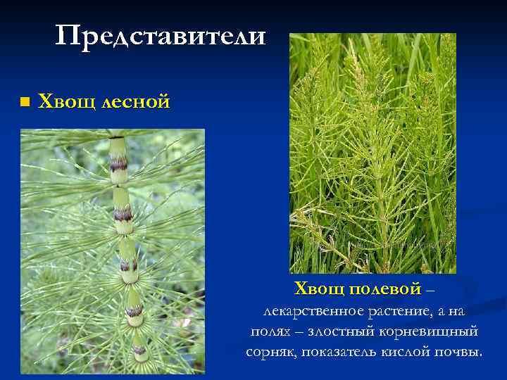 Представители n Хвощ лесной Хвощ полевой – лекарственное растение, а на полях – злостный