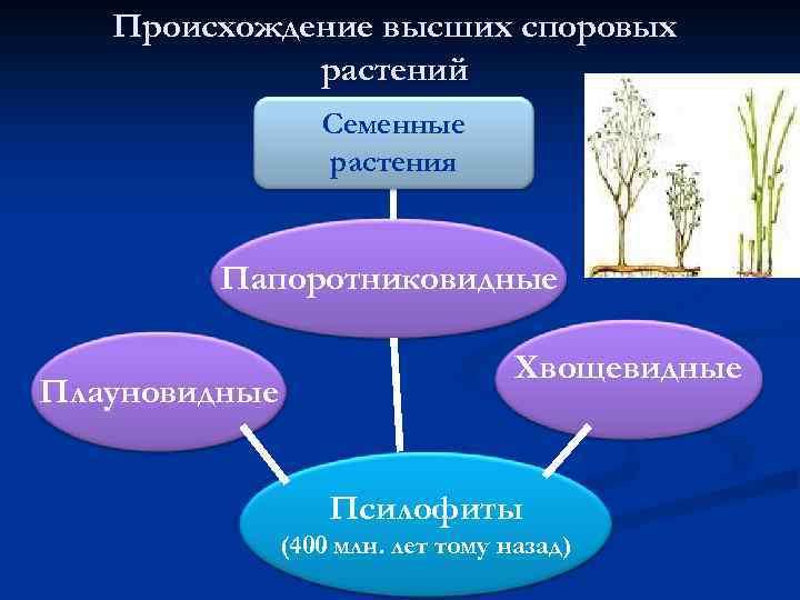 Происхождение высших споровых растений Семенные растения Папоротниковидные Плауновидные Хвощевидные Псилофиты (400 млн. лет тому