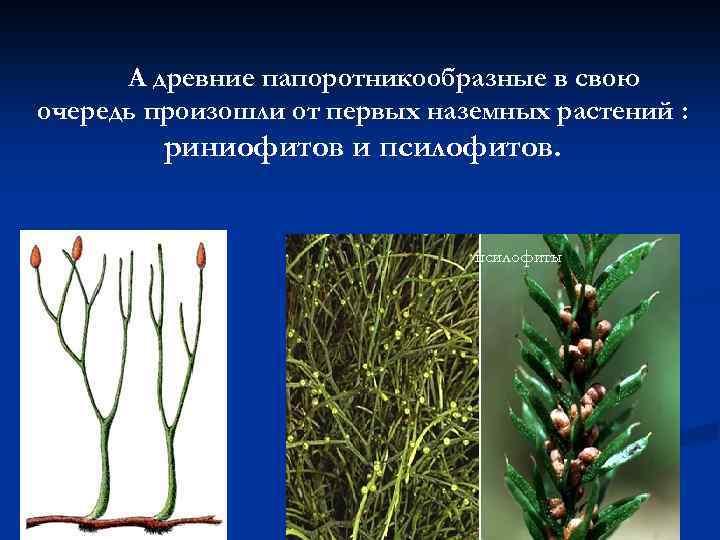 А древние папоротникообразные в свою очередь произошли от первых наземных растений : риниофитов и