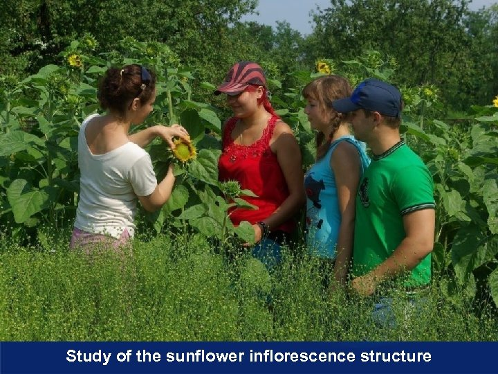 Study of the sunflower inflorescence structure
