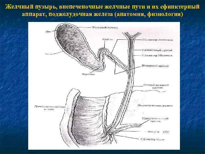 Желчный пузырь, внепеченочные желчные пути и их сфинктерный аппарат, поджелудочная железа (анатомия, физиология)