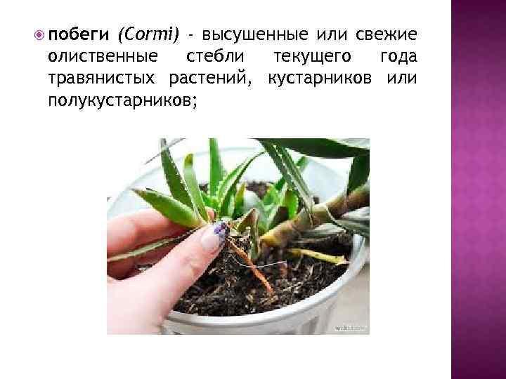 побеги (Cormi) - высушенные или свежие олиственные стебли текущего года травянистых растений, кустарников