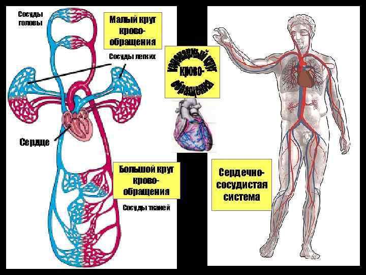 Сосуды головы Малый круг кровообращения Сосуды легких Капилляры головы Сердце Большой круг кровообращения Сосуды