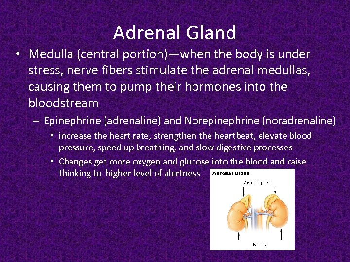 Adrenal Gland • Medulla (central portion)—when the body is under stress, nerve fibers stimulate
