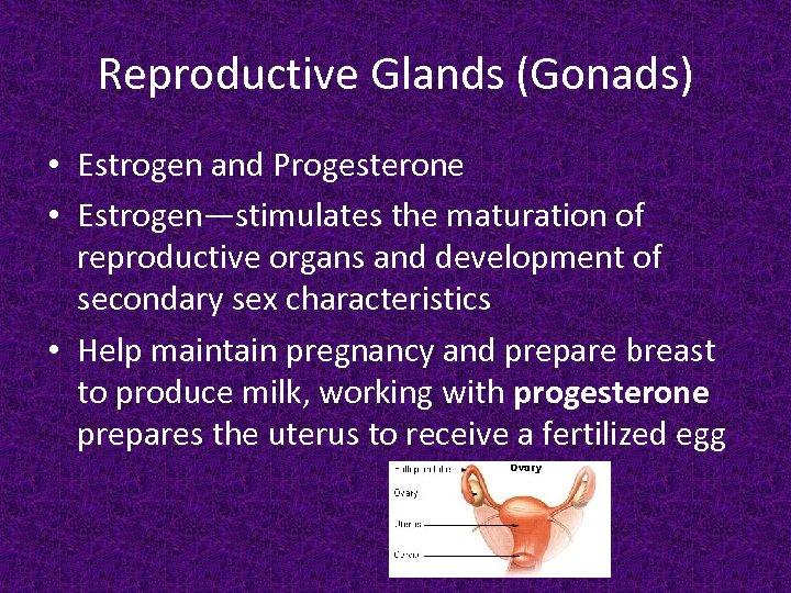 Reproductive Glands (Gonads) • Estrogen and Progesterone • Estrogen—stimulates the maturation of reproductive organs