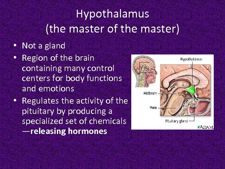 Hypothalamus (the master of the master) • Not a gland • Region of the