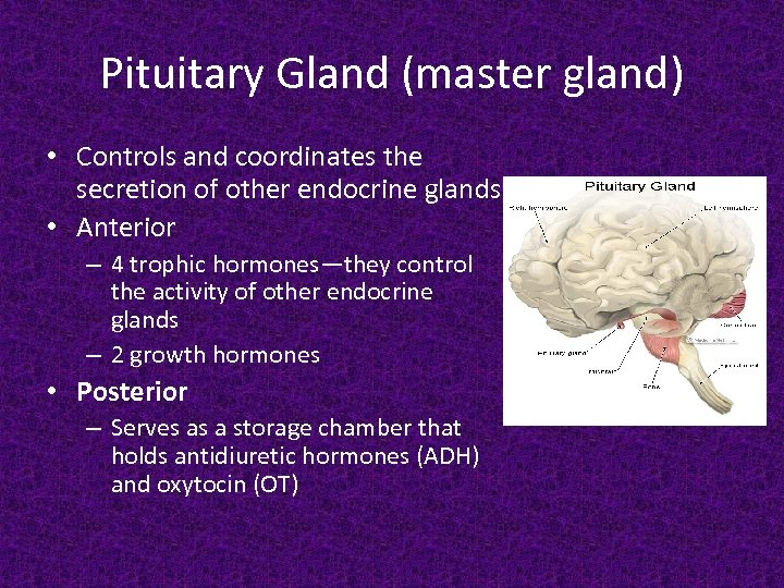 Pituitary Gland (master gland) • Controls and coordinates the secretion of other endocrine glands